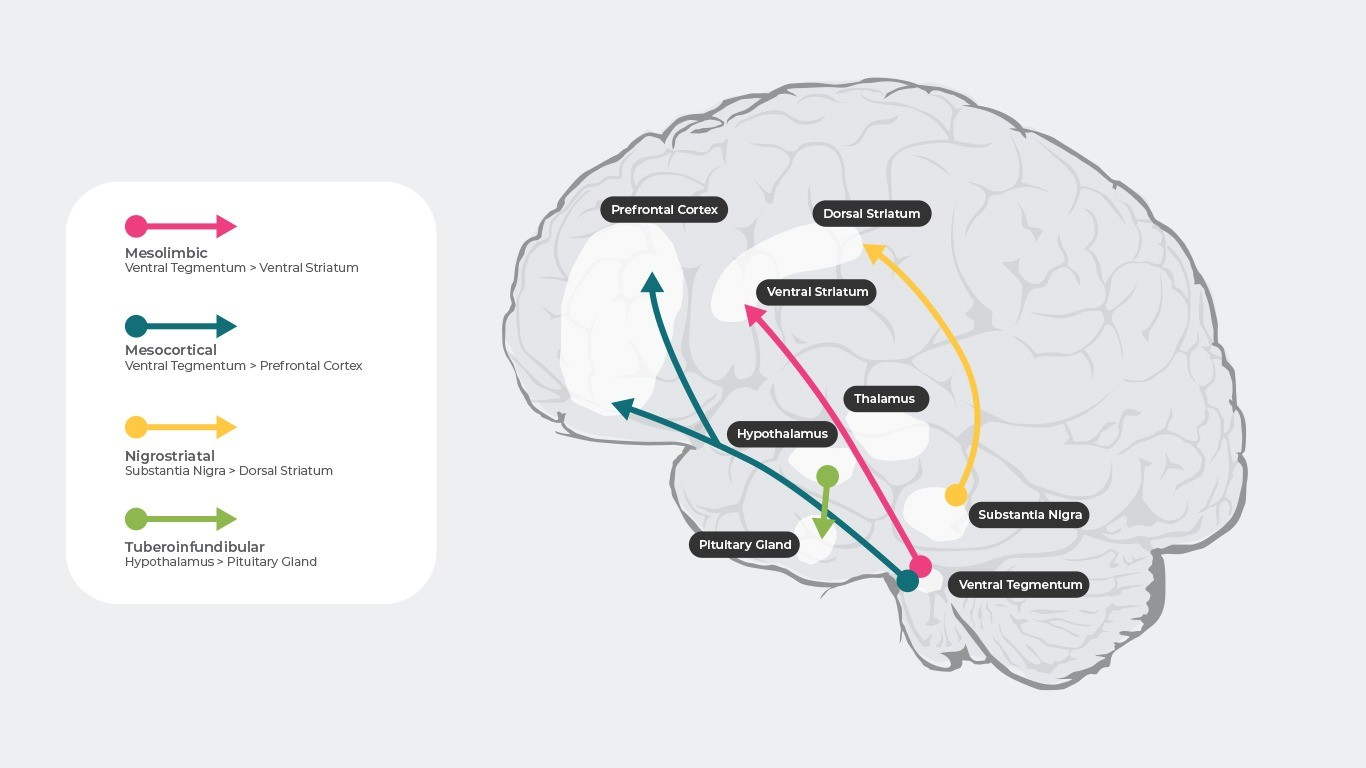 The 4 main dopamine pathways thought to be involved in schizophrenia